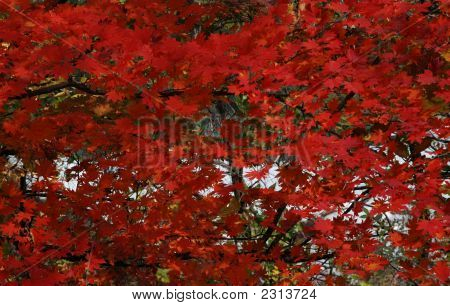 Autumn Leaves (rot)
