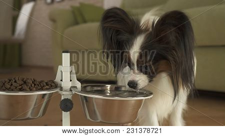 Dog Papillon Drinks Clean Water From A Metal Bowl On A Stand In The Living Room