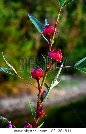 Close Up Group Of Red Roselle On The Branch Tree With Burred  Background