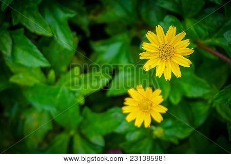Yellow Zinnia Flower With Summer Garden Blur