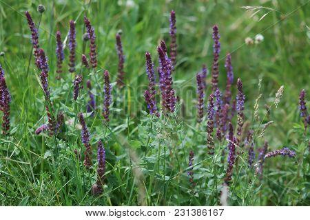 Wild Sage, Salvia, Purple Blossoms In Summer
