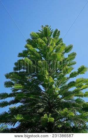 Looking Up Into The Canopy Of A Tall Wollemi Pine Tree.