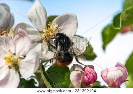 Bumblebee Pollinates Cherry Blossoms In Close-up View.
