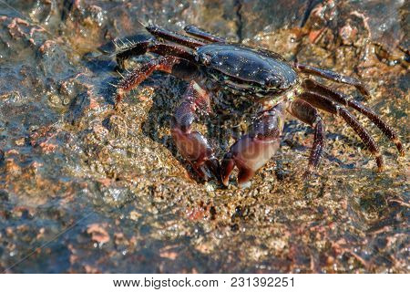 A Live Crab On The Rocky Shore Of The Sea.