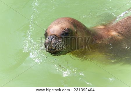 The California Sea Lion In Close-up View.