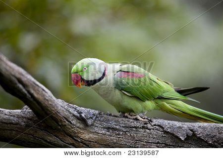 Alexandrine Parakeet (Psittacula eupatria)