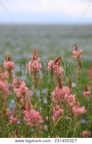 Pink Field Close Up In Russian Summer