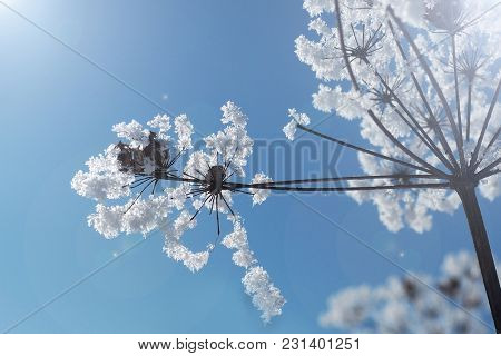 Crystallized Frozen Flowers And Blue Sky. Winter Wonder Of Nature Crystals Of Frost.
