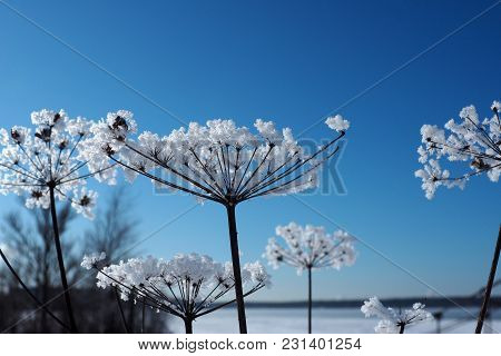 Crystal Frozen Flowers And Blue Sky. Winter Wonder Of Nature Crystals Of Frost.