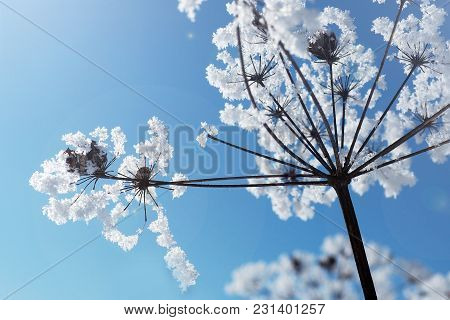 Crystal Snowy Frozen Flowers On Blue Sky Background. Winter Wonder Of Nature Crystals Of Frost.