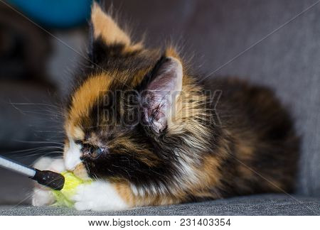 Small Color Kitten Playing With A Toy.