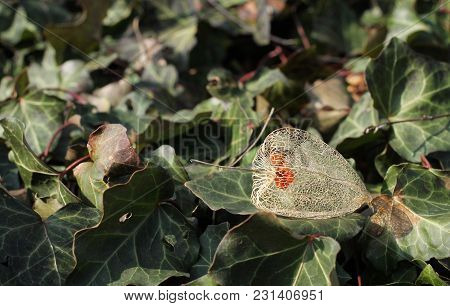 Close Photo Of A Sear Remnant Of Fruit Of Chinese Lantern On The Leaves Of Ivy