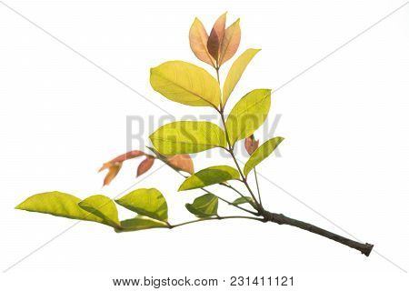 Closeup Green And Red Leaf Isolated On White Background Of File With Clipping Path .