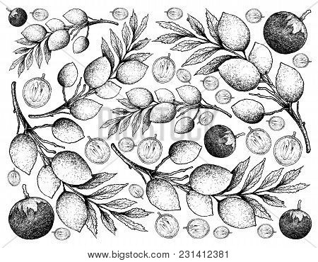 Tropical Fruit, Illustratior N Wallpapebackground Hand Drawn Sketch Of Star Aphrysple Or Cophyllum C