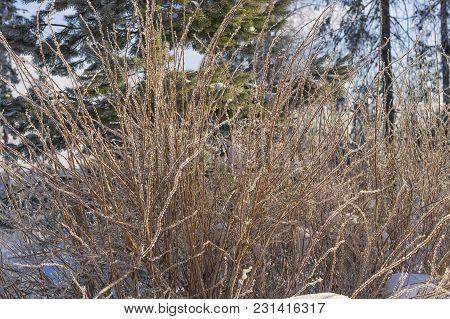 Iin Winter, Frost Covers The Branches Of Trees With Large Beautiful Ice And Snow Crests That Sparkle