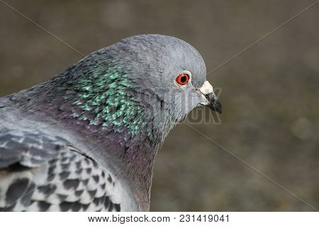 A Pigeon With Bright Green Patch Of Iridescent Feathers