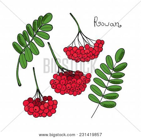 Set Red Rowan Tree. Isolated Elements Of Rowanberry Or Ashberry. Leaves And Cluster Of Sorbus Berry.