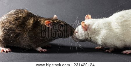 White And Gray Rats On A Black Background