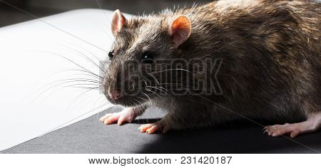 Animal Gray Rat Portrait Close-up, Sitting Looking