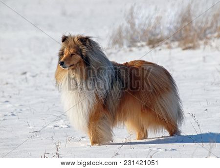 The Beautiful Long Haired Collie On A Snow Glade