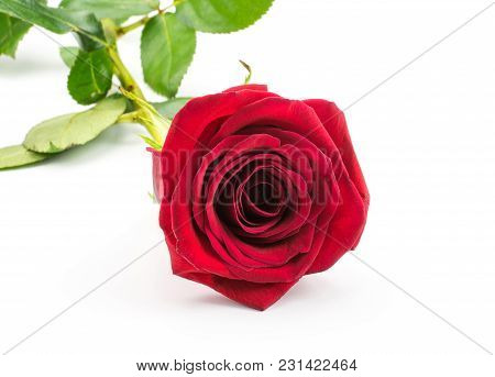 Red Rose Isolated On White Background One Fresh Cut