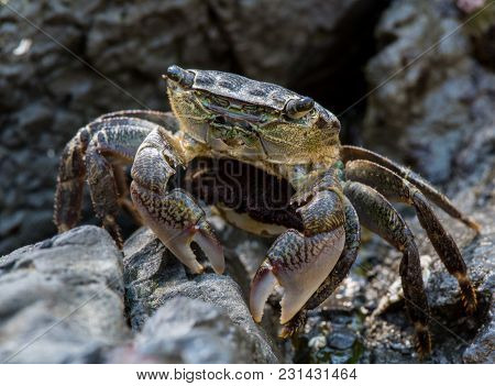 Crab Pauses While Scurrying Across Rocks In Tide Pool