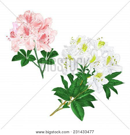 Branches Light Pink And White Flowers Rhododendrons  Mountain Shrub On A White Background Set  Three