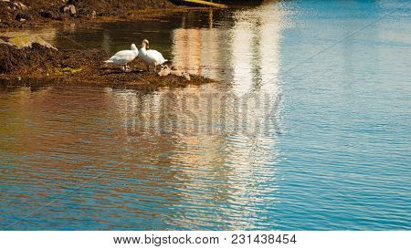 Two Swans With Many Little Nestlings On Seaside By Calm River Water.