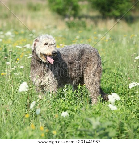 Amazing Irish Wolfhound On Green Field