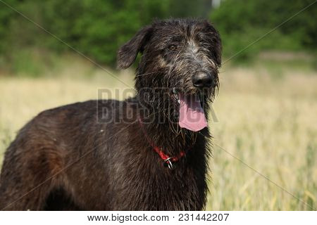 Amazing Irish Wolfhound Standing Alone