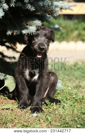 Amazing Puppy Of Irish Wolfhound Sitting Under A Tree