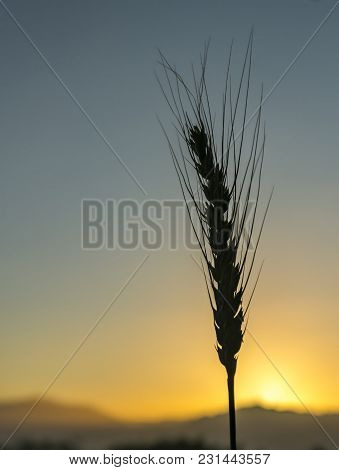 Single Ear Of Wheat Against The Rising Sun Above Jordanian Mountains