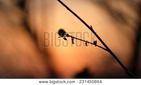 Silhouette Of Autumn Thistle In Glow Of Early Evening Sun