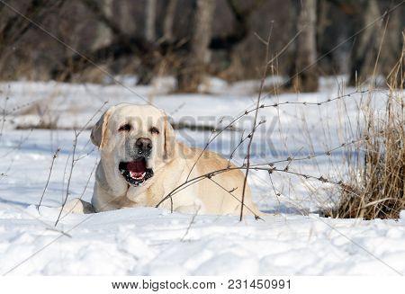A Cute Yellow Labrador In Winter In Snow Portrait