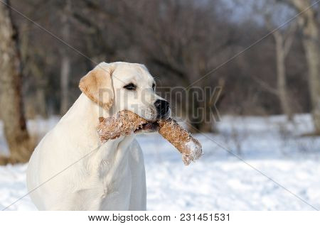 The Cute Yellow Labrador In Winter In Snow With A Toy