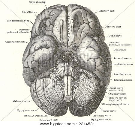 Dissection Of The Human Brain