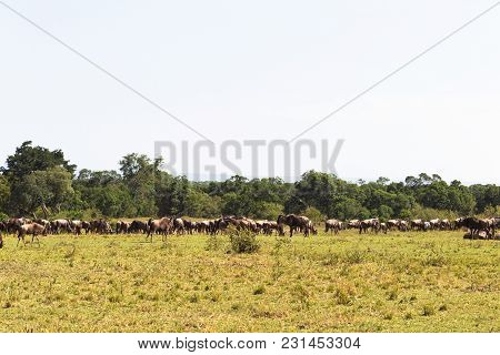 Great herds of wildebeest on endless savanna. Masai Mara, Kenya