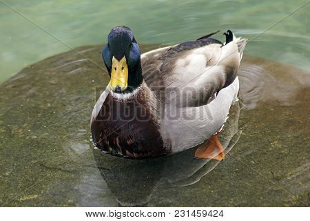 A Drake Mallard Duck Swimming Close Up.