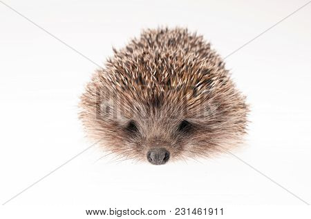 Front Part Of Hedgehog On A White - Studio Shot