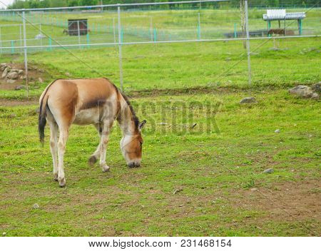 Przewalski's Horse Walking In A Meadow Chewing Grass