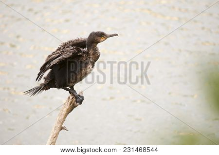 Cormorant Big Sunbathing To Dry In An Innkeeper, After A Dive In The Lagoon In Search Of Fish That S