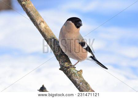 Female Of Eurasian (common) Bullfinch (pyrrhula Pyrrhula) Posing On A Thick Branch.