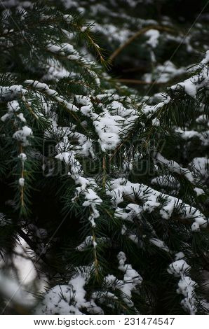 Winter Background With Snow-covered Branches Of Blue Spruce Closeup. Winter Branches Of Blue Spruce
