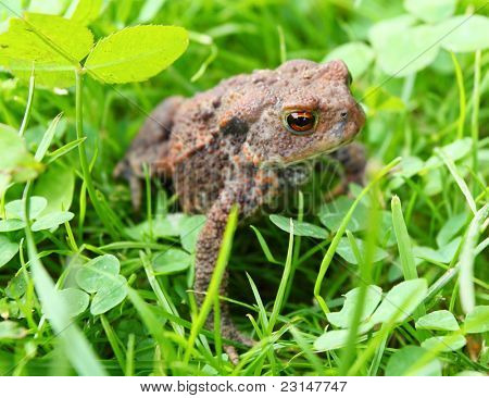 A juvenile common toad or European toad (Bufo bufo). Close up with shallow DOF.