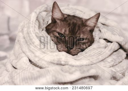 Warming Up On Cold Days. Grey Cute Stripped Cat Wrapped In A Soft Warm Blanket.