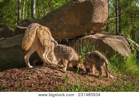 Grey Wolf (canis Lupus) Mother And Pups Sniff Around Den - Captive Animals