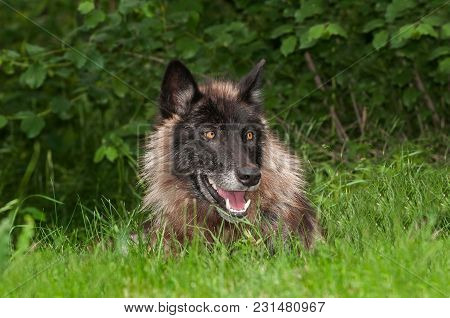 Black Phase Grey Wolf (canis Lupus) In Grass - Captive Animal