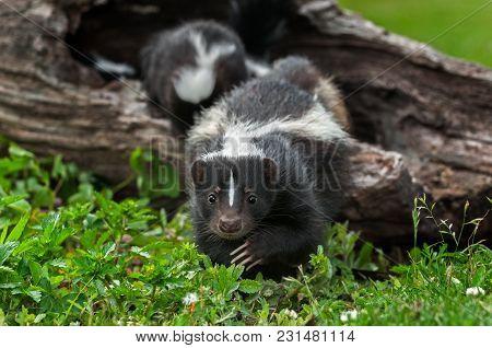 Striped Skunk Doe (mephitis Mephitis) Creeps Forward - Captive Animals