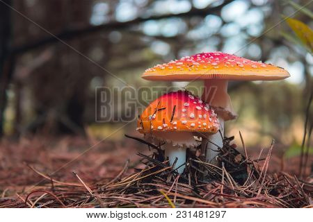 Amanita Muscaria, Poisonous Mushroom. Pine Forest Background
