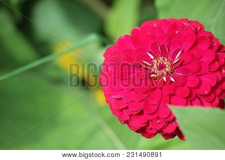 Beautiful Vibrant Red Zinnia In Full Bloom Against A Lush Green Background
